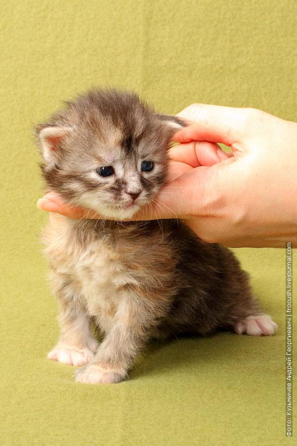 котенок мейн кун девочка