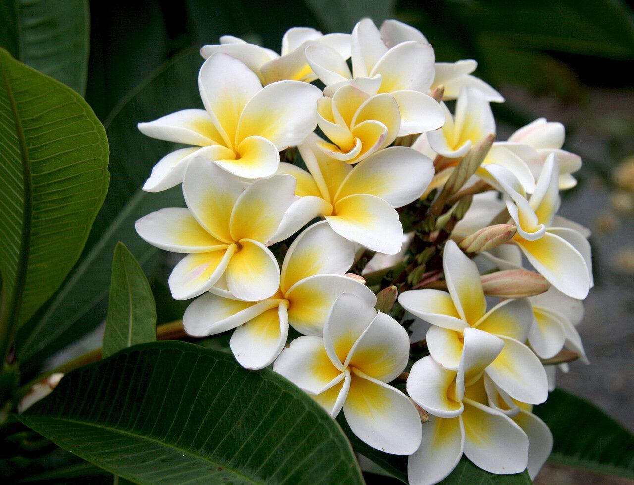 Цветов, цветы франжипани в алмате купить