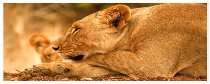 Кения. Масаи Мара. Фото dmussman - Depositphotos