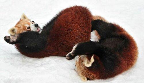 Красные панды фото