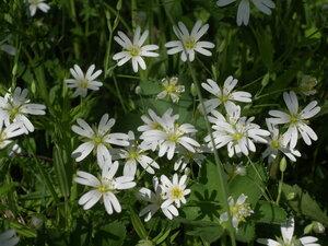 Звездчатка ланцетолистная (Stellaria holostea)