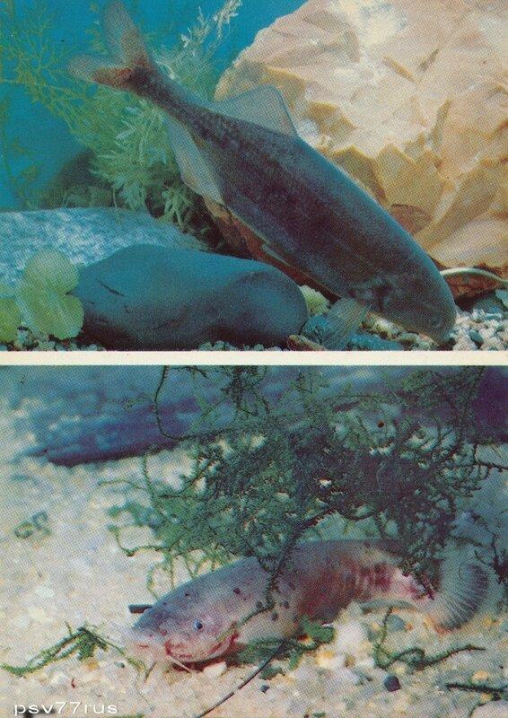 Серая рыба-слон (Gnathonemus moorii). Электрический сом (Malapterurus electricus).
