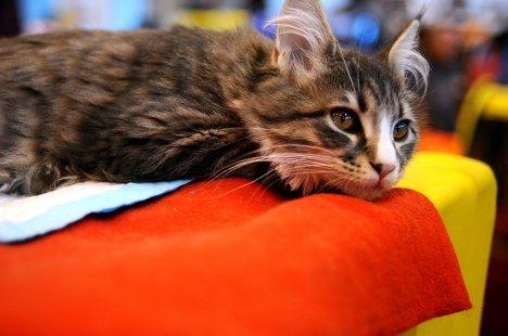 выставка кошек Felina Belissima