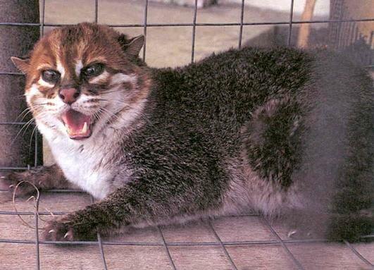 Суматранская, плоскоголовая кошка