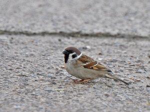 Воробей полевой - Passer montanus (Passeridae)Альбом: Из жизни птиц