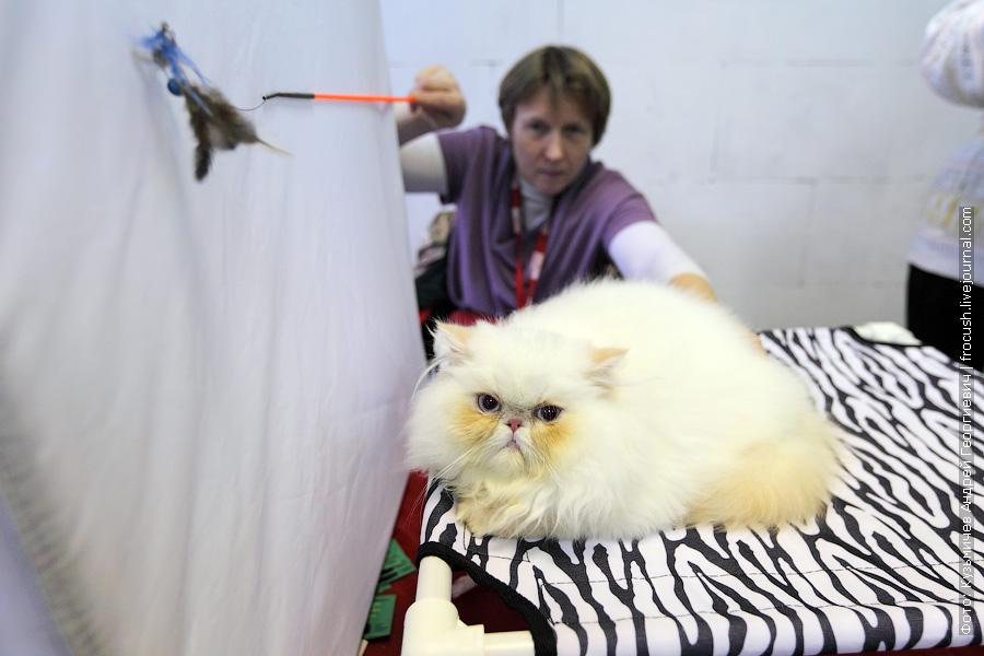Четырехмесячный персидский котенок. Окрас: red point
