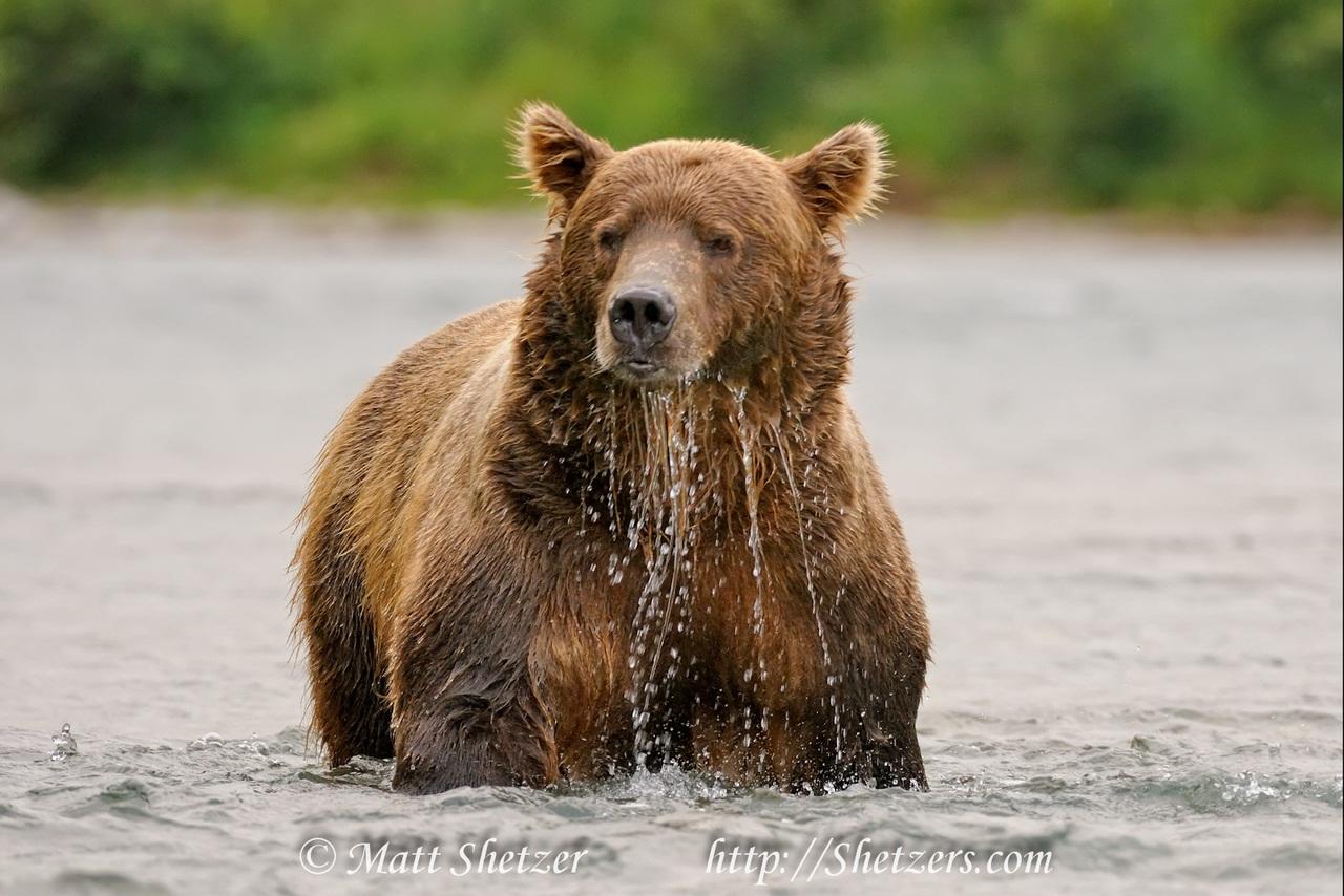 2008-08-17-Alaska-McNeilRiver-Bears-16-42-31