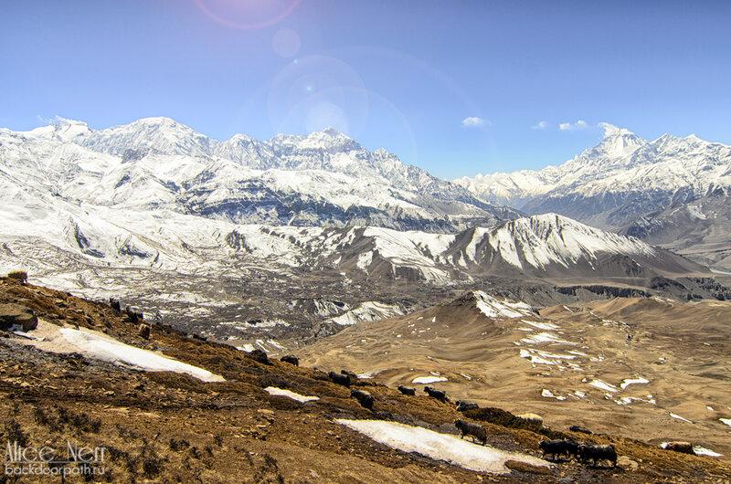 Горные козлы на склонах, гималаи, непал