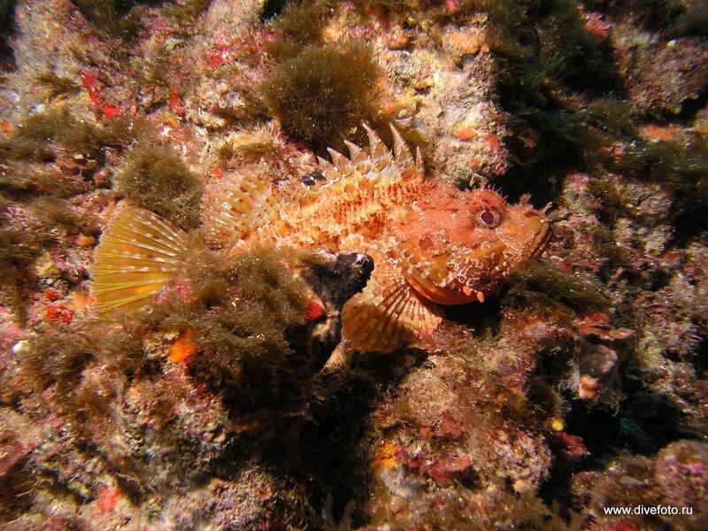 Скорпена средиземное море. подводное фото