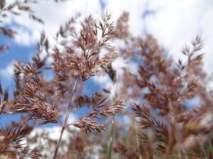 Вейник наземный (Calamagrostis epigeios)