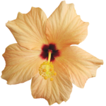 KMILL_hibiscus-2.png