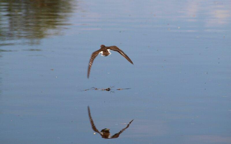 Перевозчик (Tringa hypoleucos) над водой P5172775