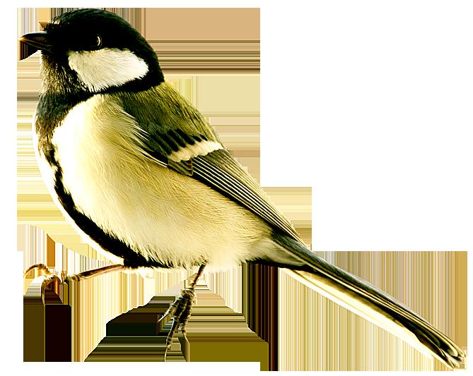 Картинка зимующие птицы для детей на прозрачном фоне, открытки брату днем