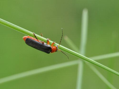 Мягкотелка яркая (Cantharis pellucida) Автор: Владимир Брюхов