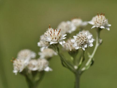Кошачья лапка двудомная (Antennaria dioica) Автор фото: Владимир Брюхов