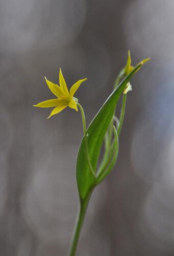 Гусиный лук маленький (Gagea minima) Автор фото: Владимир Брюхов