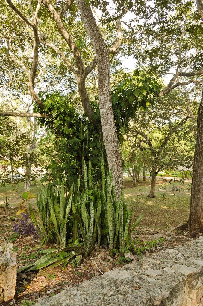 Экскурсия к пирамидам Майя в Ушмале. Такие растения росли у меня на подоконнике в детстве. Не знал, что их родина - Мексика. Снято на зеркалку Nikon D5100 KIT 18-55.