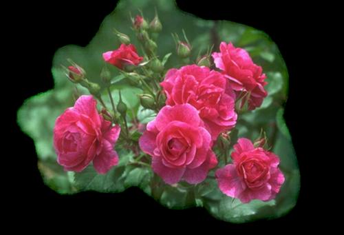 Прекрасные розы.png