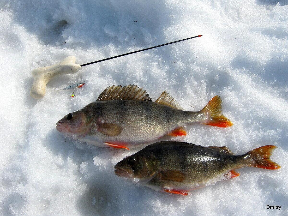 Ловля окуня со льда зимой