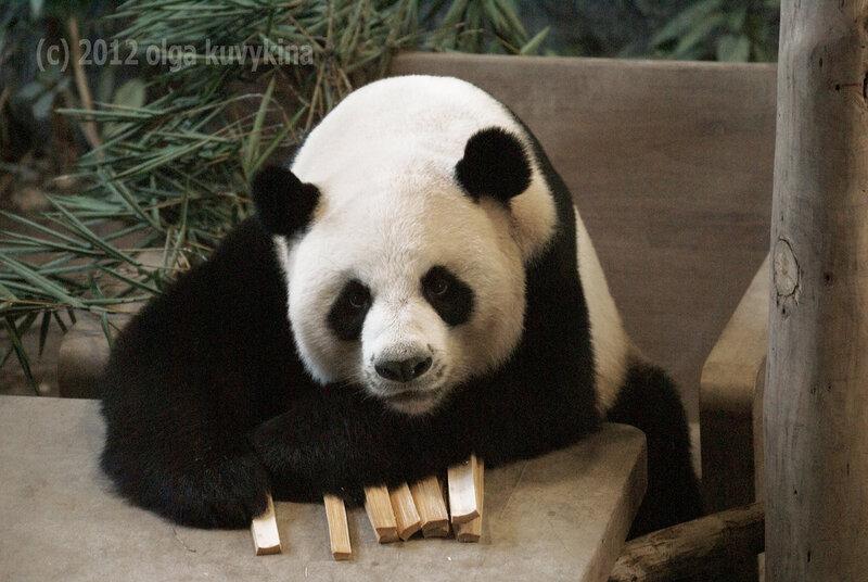 Это мои палочки! (Большая панда)