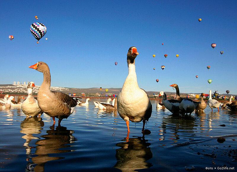 www.Go2life.net • Монгольфьеры над гусями