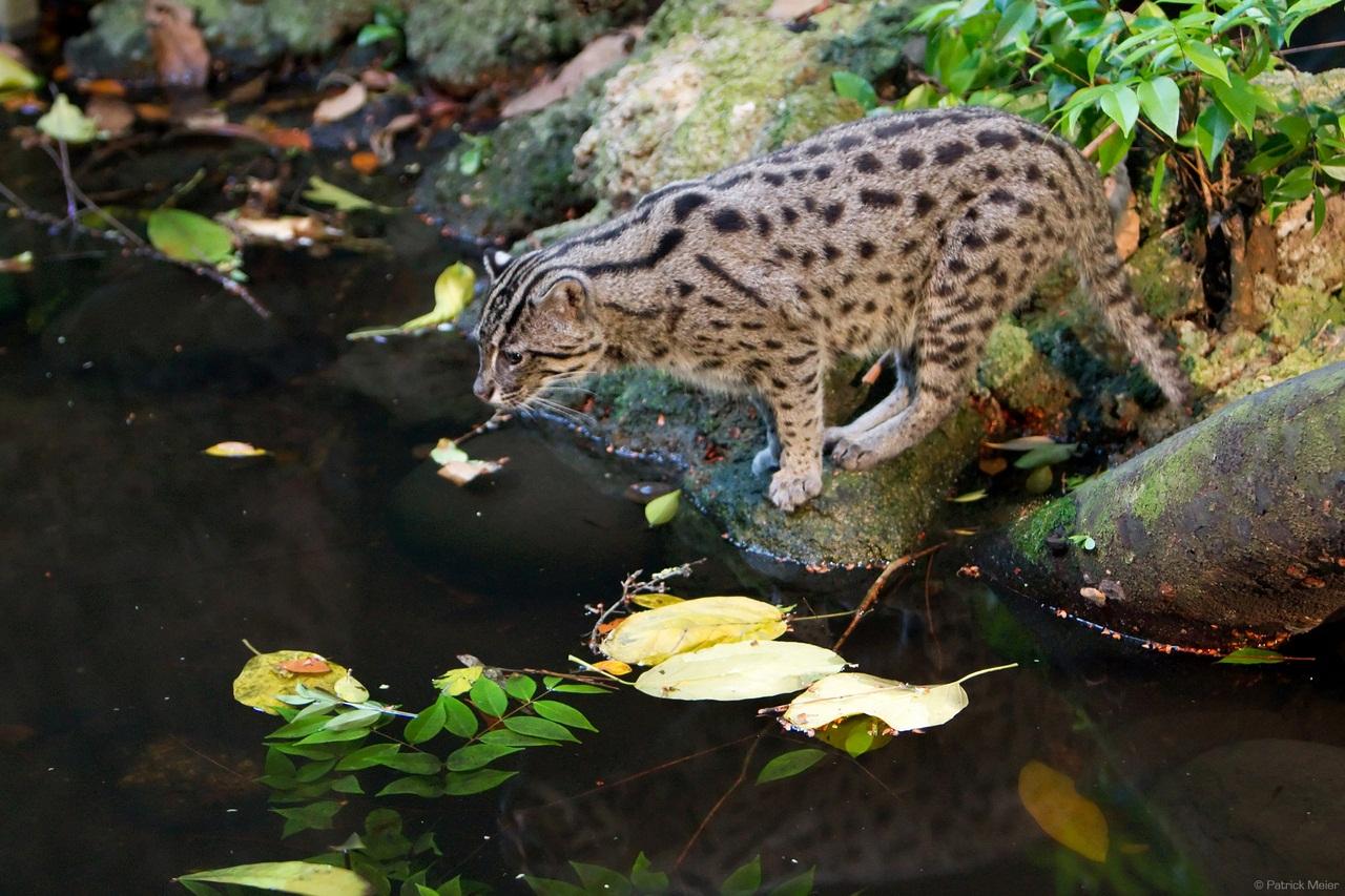Порода кошек ловят рыбу