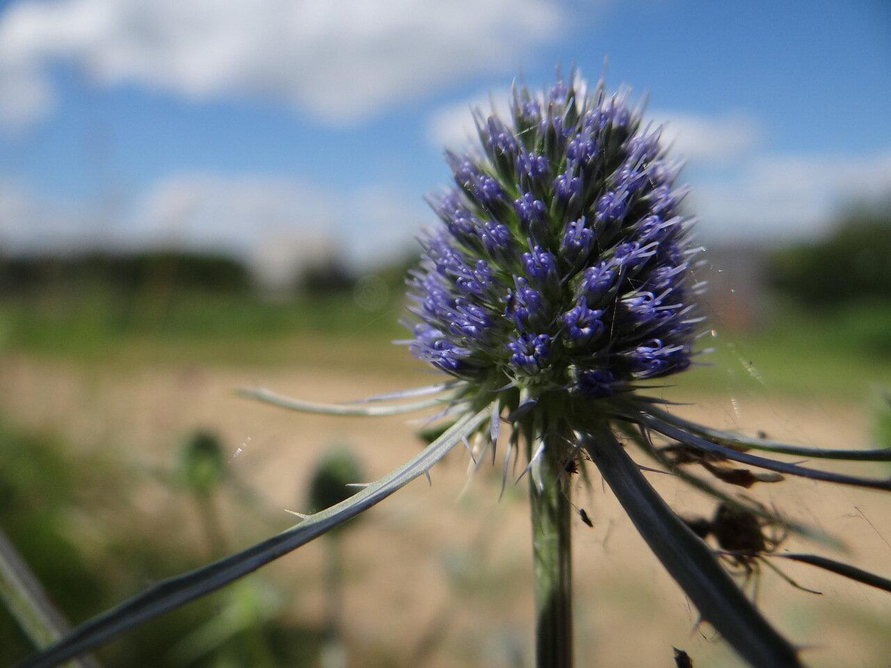 Синеголовник плоский (Eryngium planum). Автор фото:Привалова Марина