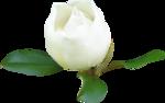 magnolia 17.png