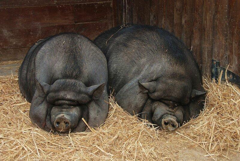 Pigs_July_2008-1.jpg