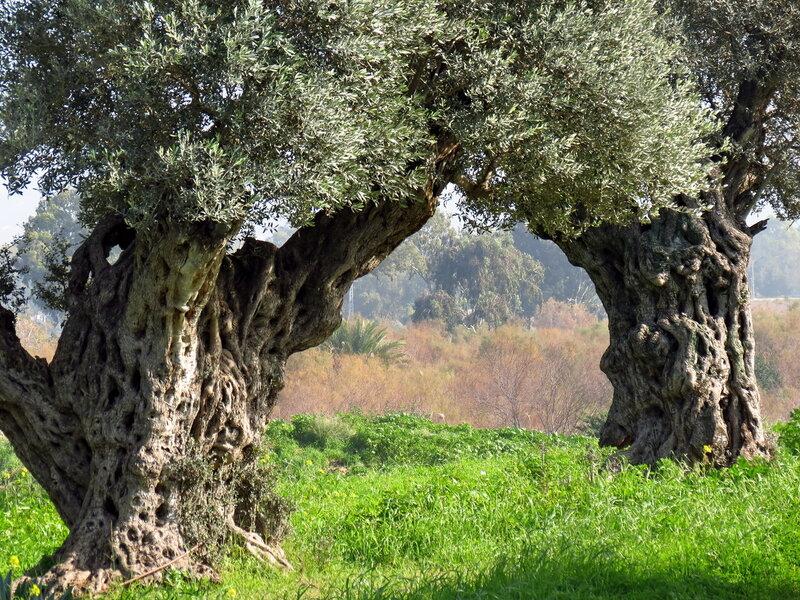 Оливы
