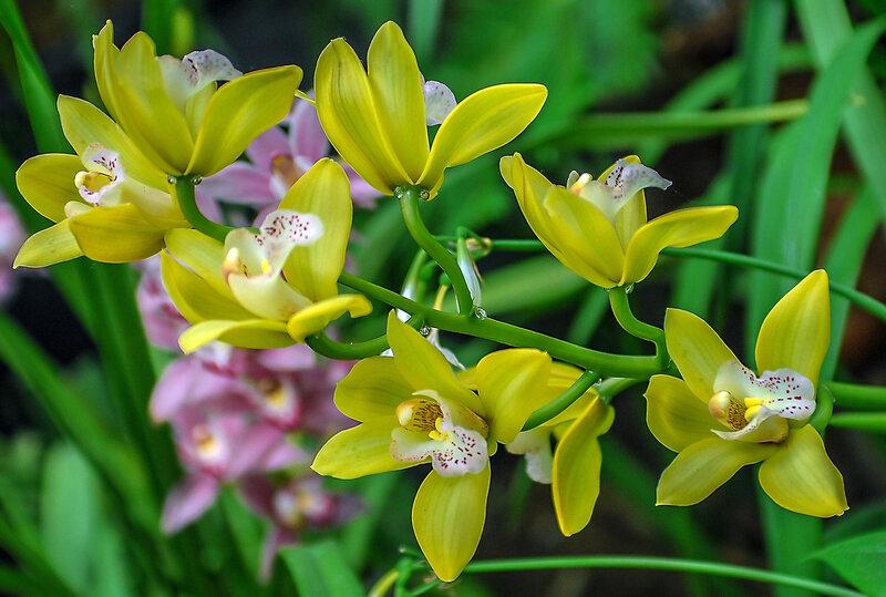 Солнечная орхидея.