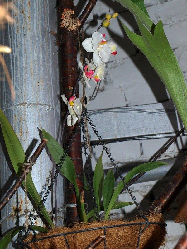 цветёт орхидея