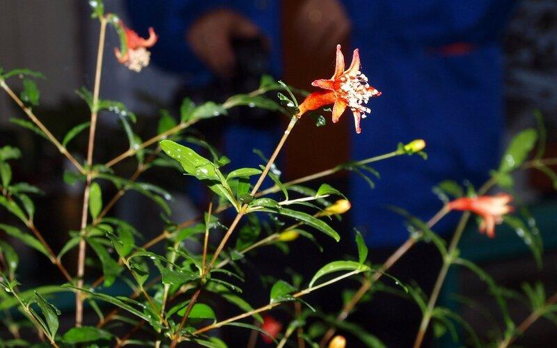 цветёт Гранат декоративный (Punica)