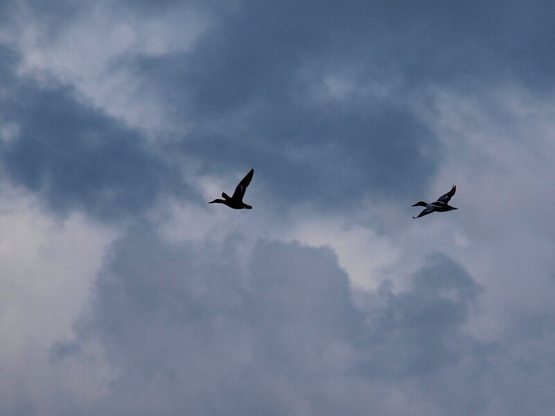 Полёт уток P5042051