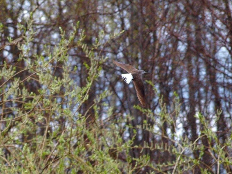 Черныш (Tringa ochropus) P5042078