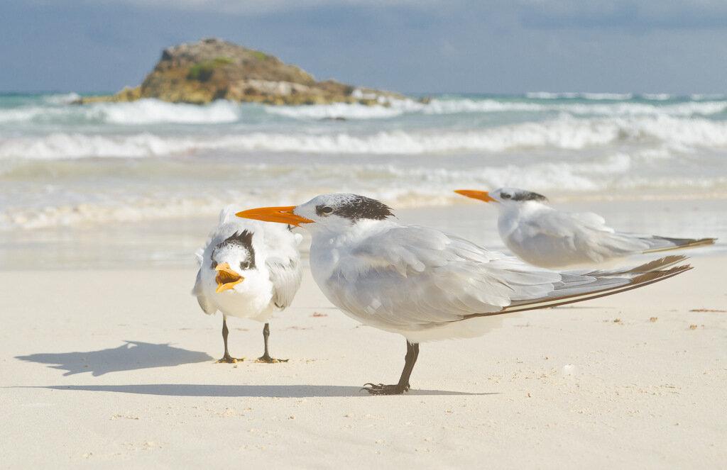 Фотоохота на чаек на берегу Карибского моря. Снято на Nikon D5100 + Nikon 18-55. Подкрадывался к птицам на животе. Подпустили на полтора метра.