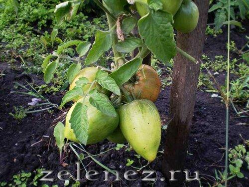 Сорта томатов и условия выращивания