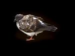 LottaDesigns_OldWorld_bird_1_sh.png