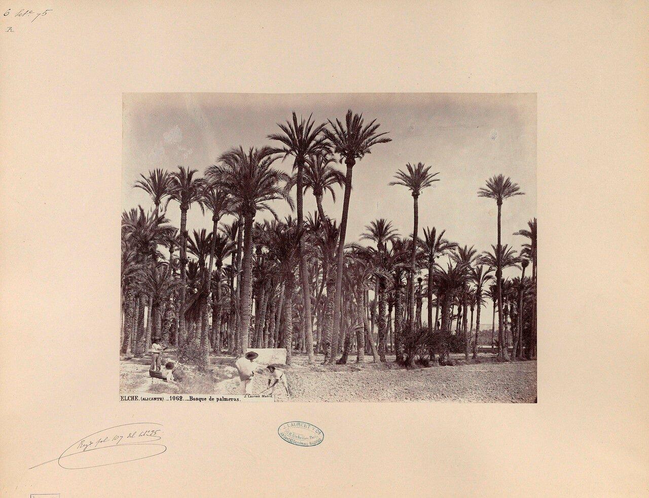 Аликанте.Пальмовые леса