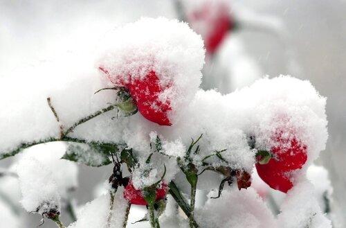 Розы красные в снегу