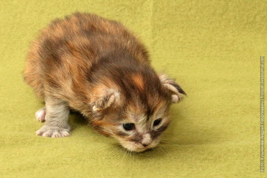котенок мейн кун маленький