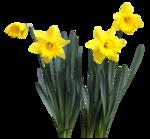 feli_gs_daffodils3.png