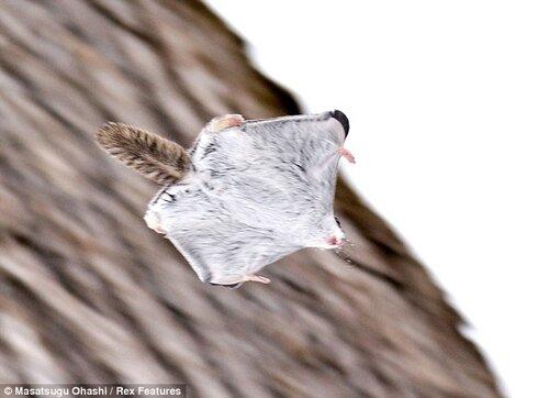Очаровательные фото белки-летяги