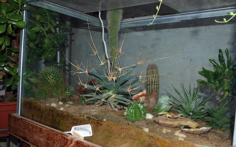 Кактусовый аквариум с лейхтенбергией (Leuchtenbergia)