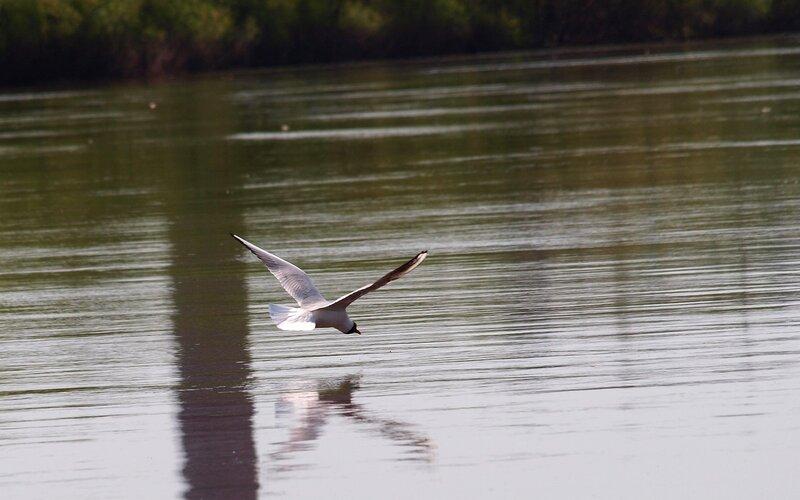 Чайка на бреющем полёте над рекой P5172911
