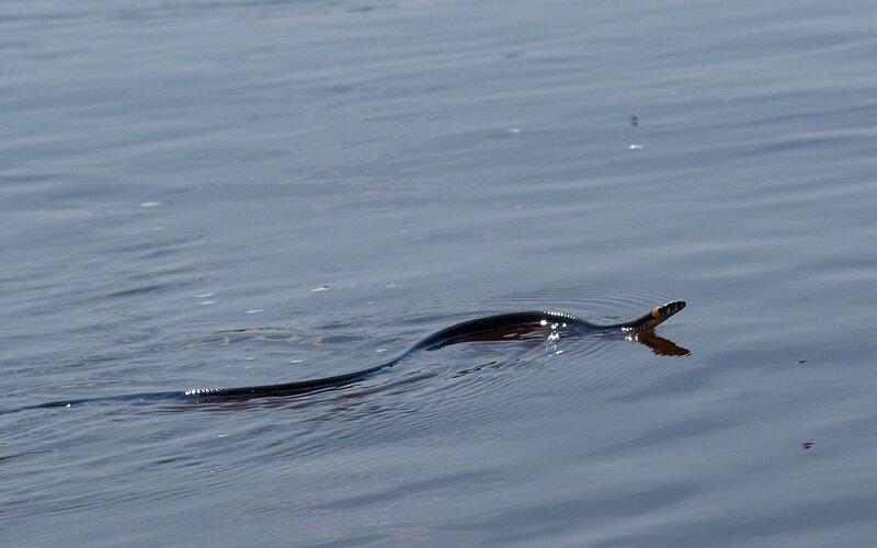 уж обыкновенный (Natrix natrix) плывёт по реке Вятке P5172841.jpg