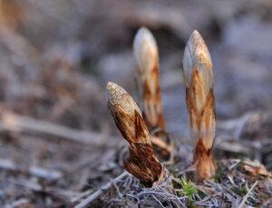 Хвощ лесной (Equisetum sylvaticum)