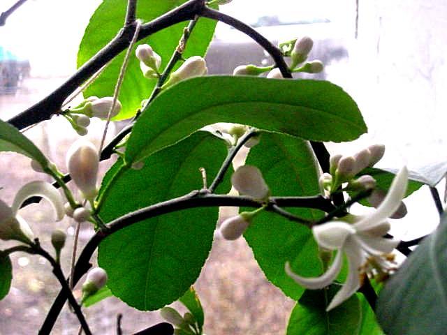 Лимон цветы.JPG