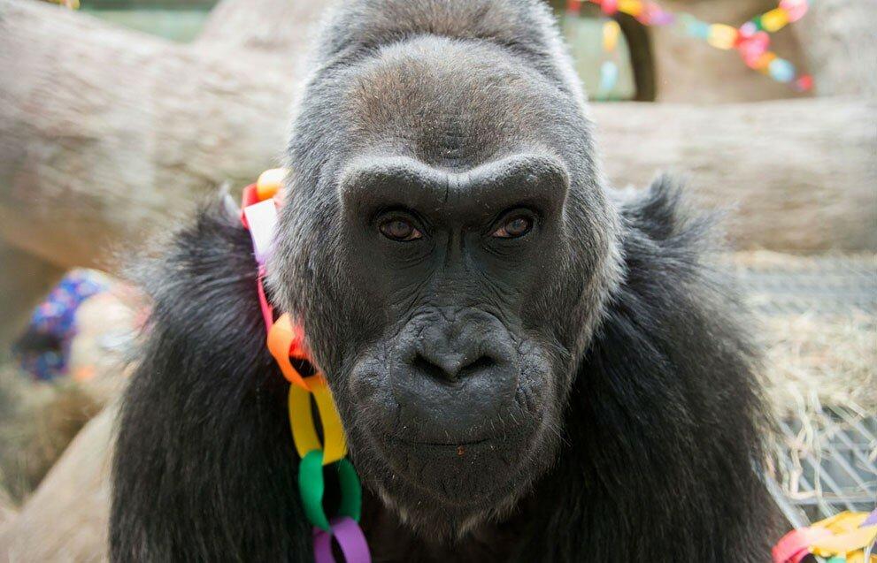 Старейшая горилла на Земле Коло празднует свой 56-й день рождения