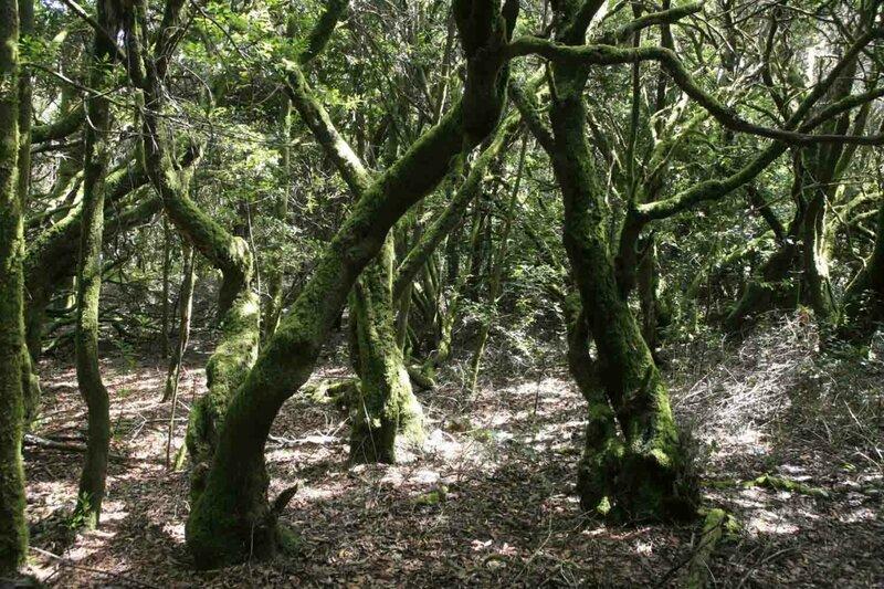 Константин Шульга, Тенерифе, деревья